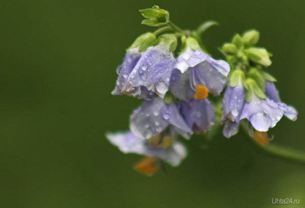 Цветы под дождём (не знаю как называются) Природа Ухты и Коми Ухта