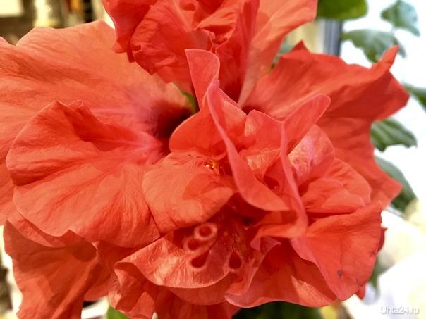 Последний бутон розы китайской расцвел....   Ухта