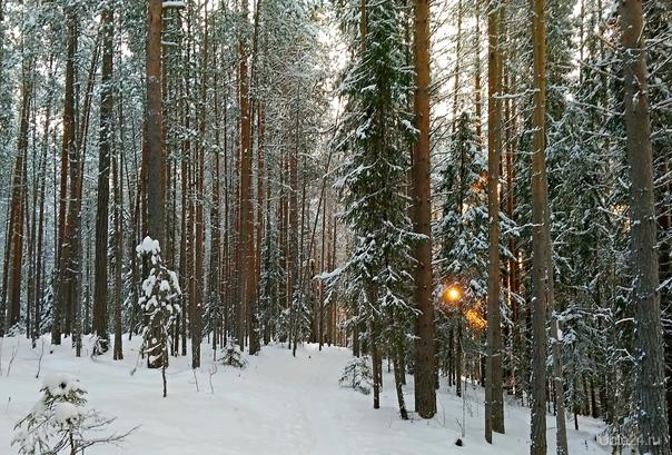 Декабрьский лес. Шудаяг. В прошлом году бывали солнечные дни. Природа Ухты и Коми Ухта