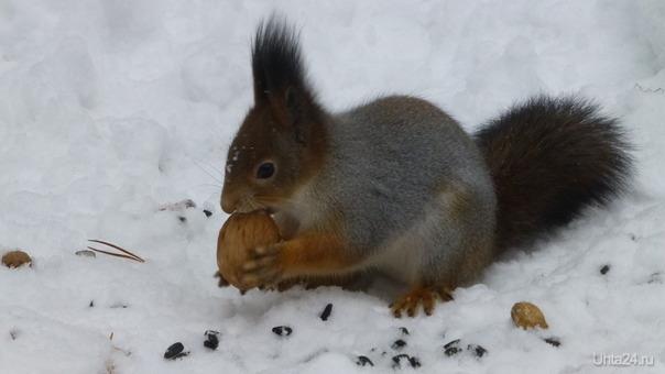 Белочка и орех. Сразу раскрываю секретик: орех чуточку расколот. Так что, белочкой орех был съеден. Природа Ухты и Коми Ухта