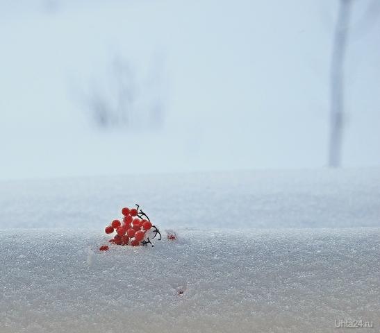 Калина на снегу Разное Ухта