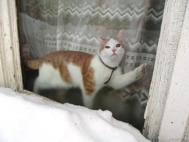 зимняя жизнь коми котеек. в окно просматриваю всё,потом разное Питомцы Ухта