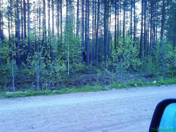еду в лесе,смотрю вдали черная точка на дороге, ближе подъехал, пистон перебежал канаву и на дерево полез,как в мультике,мамашка  где то рядом была,на нокию 3310 успел чутка сфоткать Природа Ухты и Коми Ухта