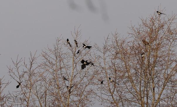 Собрание, переговоры, галдёж, только председатель (ворона) собрания сидит спокойно.    Природа Ухты и Коми Ухта