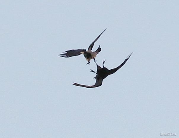 Разборки между вороной и вороном в небе (извините за качество, слишком далеко)  Ухта