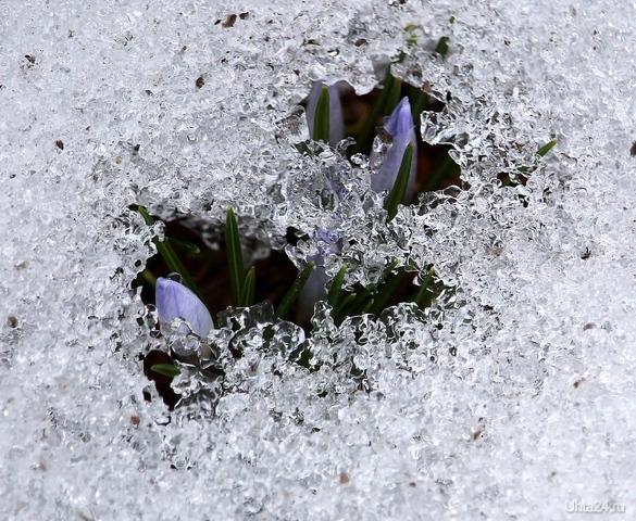 Пробуждение. Весенние крокусы. Природа Ухты и Коми Ухта