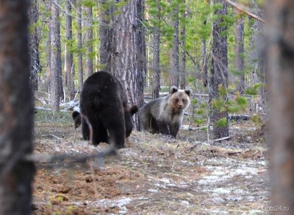 Природа Коми, медведи