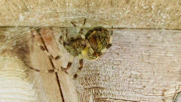 Страшно красивый жёлтый паук. Природа Ухты и Коми Ухта