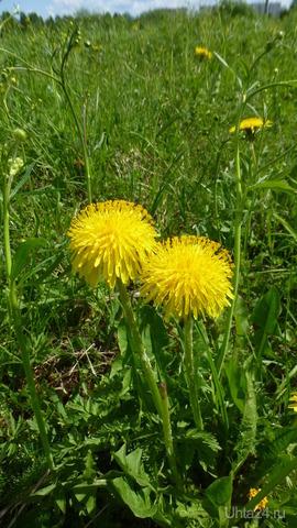 Увидела на полянке  эти цветочки-пушистики. Скоро они превратятся в белые одуванчики.  Природа Ухты и Коми Ухта