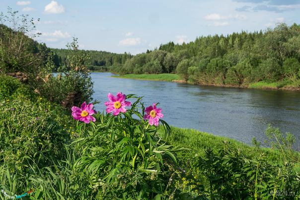 Началось цветение самого северного вида пионов - Пиона уклоняющегося, у нас известного как Марьин корень или Марья моль Природа Ухты и Коми Ухта
