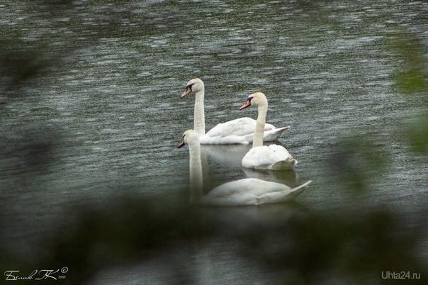 лебеди-шипуны Природа Ухты и Коми Ухта