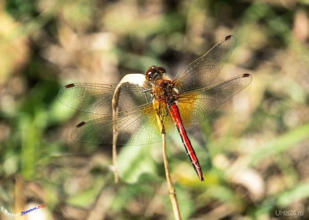 Не знаю вид стрекозы, рыже-красная, первый раз такую вижу) Природа Ухты и Коми Ухта