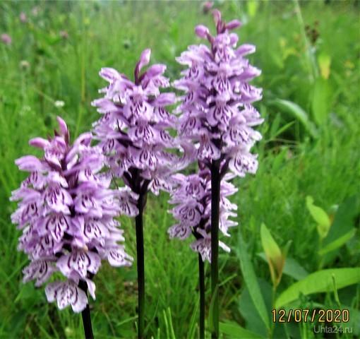 Ятрышник ..сибирская дикая орхидея. Природа Ухты и Коми Ухта