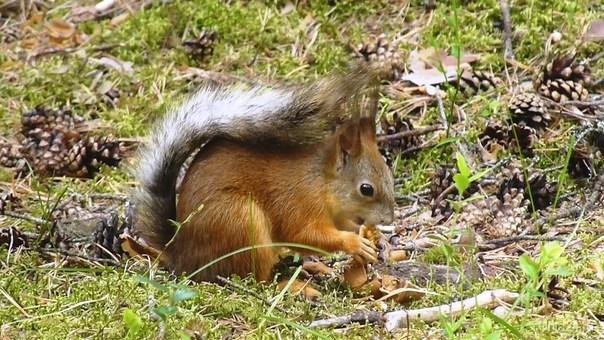 Белочка с орешком. Природа Ухты и Коми Ухта