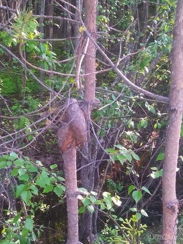 Узелковое дерево Природа Ухты и Коми Ухта