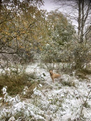 Боня и первый снег.  Ярега 19.9.20 Природа Ухты и Коми Ухта
