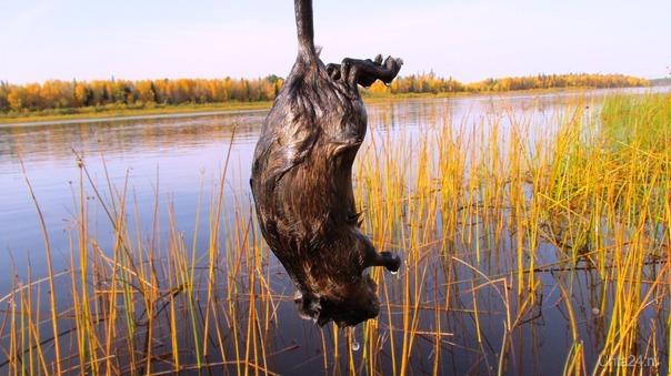 иду в печоре, смотрю-ондатрёнок не живой тут. а еще такая история-сейчас белки массово переплывают на противоположный берег печоры, тонут но плывут,зачем почему?. еду на лодке по реке, миша большой, переплывает печору поперёк,чем его тот берег не устроил?. Разное Ухта