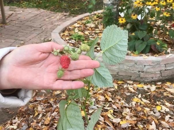 Последняя ягодка этого лета.....  Разное Ухта