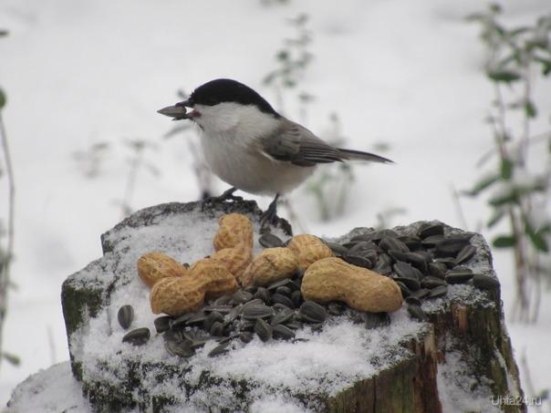 Успела сфоткать на фоне снега птичку ... и увы, снег растаял. Природа Ухты и Коми Ухта