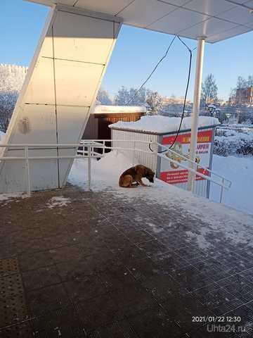 бездомная собака у магнита - потрёпанная в стычках со сворами с окраин Проблемы Ухты Ухта