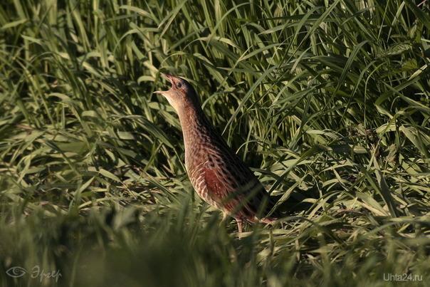 Коростель - птичка певчая. Природа Ухты и Коми Ухта