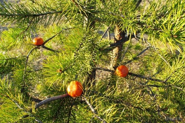 ранняя весна в этом годе,сосны заплодоносили раньше срока ням ням Природа Ухты и Коми Ухта