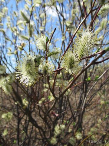 Вербочка. Как же замечательно весной, все цветет. Природа Ухты и Коми Ухта