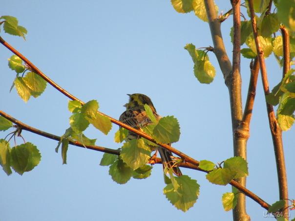 Весной нас радуют птичьи трели! На моем фото маленькая  овсянка распевается. Природа Ухты и Коми Ухта