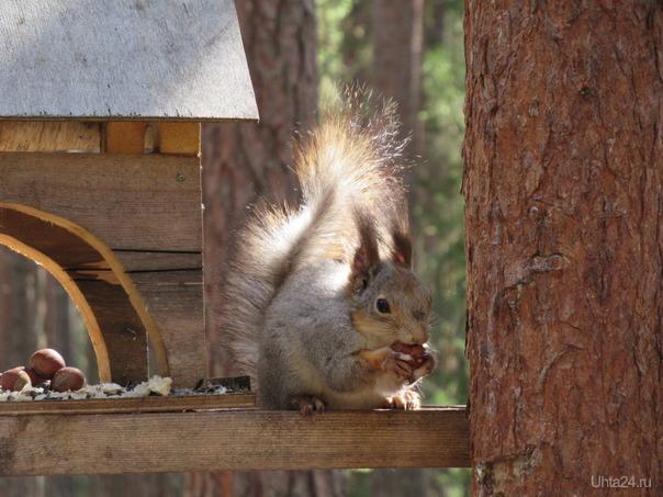 Белка песенки поет ... Да орешки все грызет. Природа Ухты и Коми Ухта