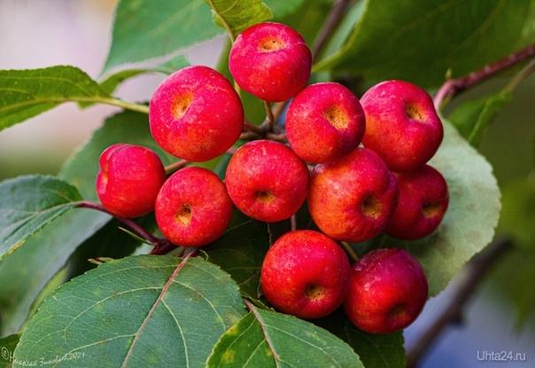Яблоки у Сервиса, в этом году кое где висят крупными гроздями. Природа Ухты и Коми Ухта