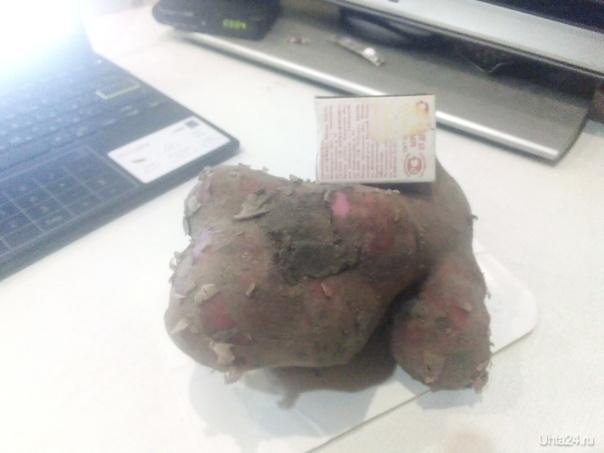 картофель,коробок для масштаба Природа Ухты и Коми Ухта