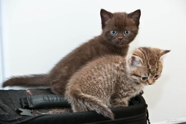 Продам британских котят с родословной 1,5месяца. Котята к туалету и когтеточки  приучены. т.89505694542. Питомцы Ухта