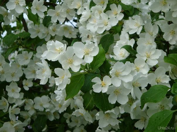 яблоня возле Сервиса цветет. Природа Ухты и Коми Ухта