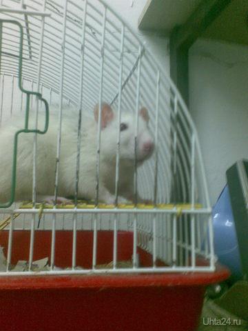 Крыска Муся, живет у нас на работе. Очень шустрая.  Ухта