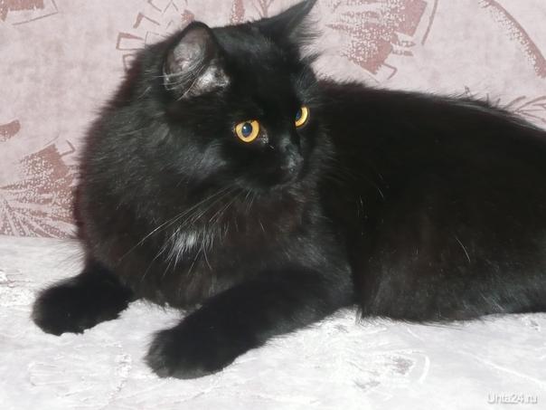 22 сентября в р-не Тиманской д.1 найден кот, черный ,на груди белое пятнышко, пушистый, некастрированный, возраст около 2 лет. хозяева, отзовитесь.  Питомцы Ухта