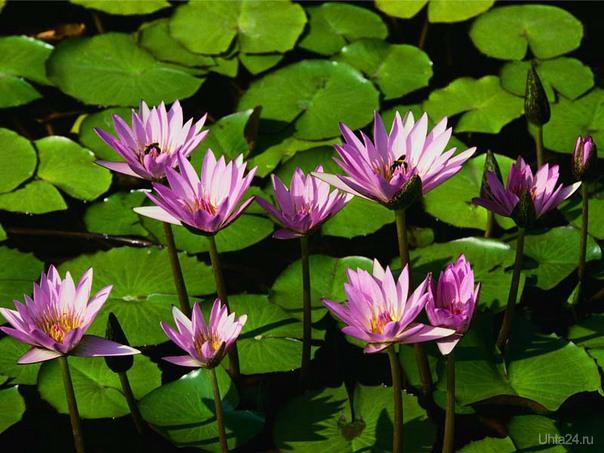 водяные лилии Природа Ухты и Коми Ухта