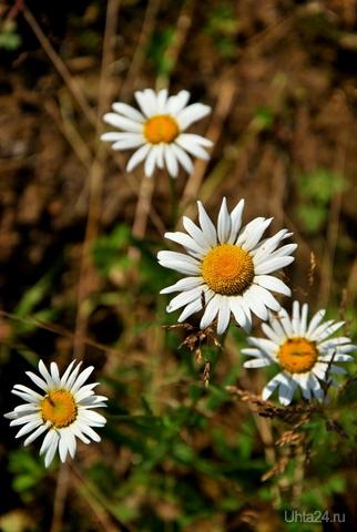 Ромашки простота..... Природа Ухты и Коми Ухта